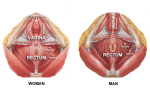 pc muscle in man and woman